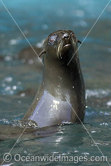California Sea Lions Zalophus californianus photo