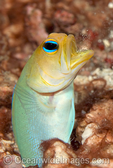 Yellowhead Jawfish (Opistognathus aurifrons). Also known as Yellowheaded Jawfish. Palm Beach, Florida, USA. Photo - MIchael Patrick O'Neill