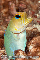 Yellowhead Jawfish Opistognathus aurifrons Photo - MIchael Patrick O'Neill