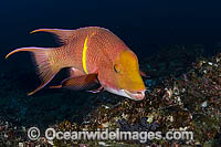 Male Mexican Hogfish in Cocos Island Photo - Michael Patrick O'Neill