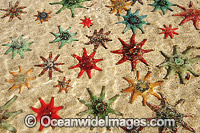 Spurred Sea Stars Patiriella calcar Photo - Gary Bell