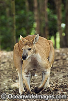 Antilopine Wallaroo Macropus antilopinus photo