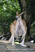 Antilopine Wallaroo photo