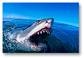 ID: 24M2644-07 - Great White Shark jaws