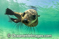 Australian fur seal Photo