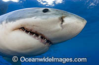 Great White Shark Underwater photos