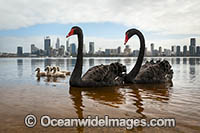 Australian Swans photos