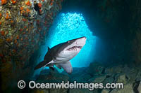 Grey Nurse Shark Stock Photo