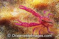 Hairy squat lobster