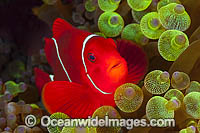 Clownfish Images
