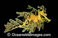 Leafy Seadragons Images