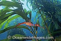 Seadragon in Kelp forest