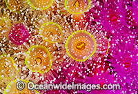 Jewel Anemones Stock Photo