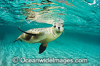 Australian Sea Lion Images