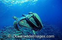 Mating Green sea turtles Chelonis mydas