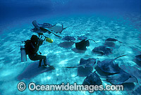 Underwater phtographer and stingrays
