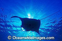Manta ray silhouetted in the sun
