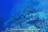 Whitetip reef sharks hovering for a feed