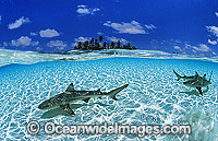 Black-tip Reef Shark Images