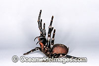 Funnel-web Spider Images