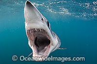 Mako Shark Pictures
