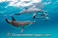 Atlantic Spotted Dolphin Images