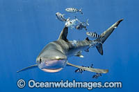Blue Shark Stock Photo